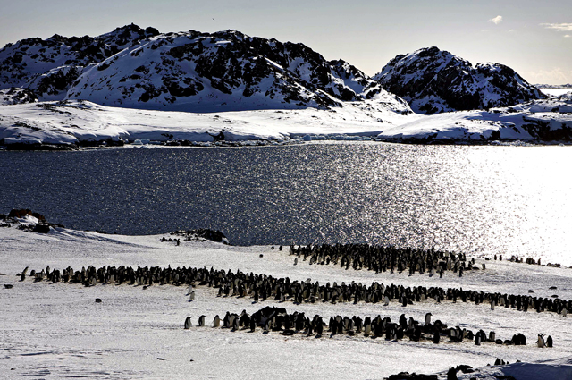 Adelie penguins arrive for the summer.