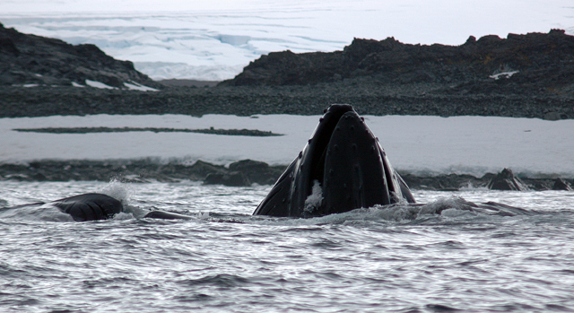 Humpback whale feeds near Palmer Station.