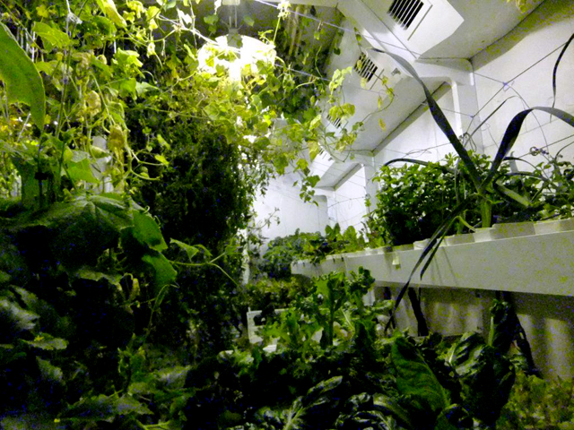 A jungle of green in the growth chamber.