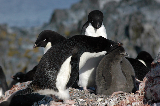 Adelie penguin with chich on Torgersen Island.