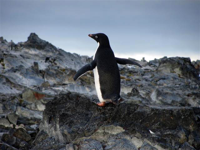 A penguin stands on a rock.