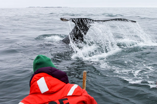 Whale tail breaks the water surface.