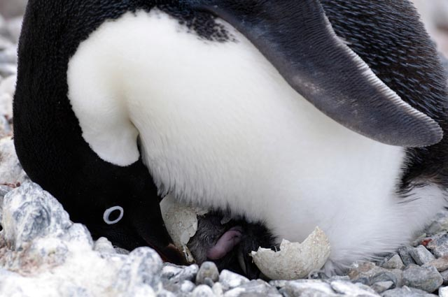 Penguin with newly hatched chick.