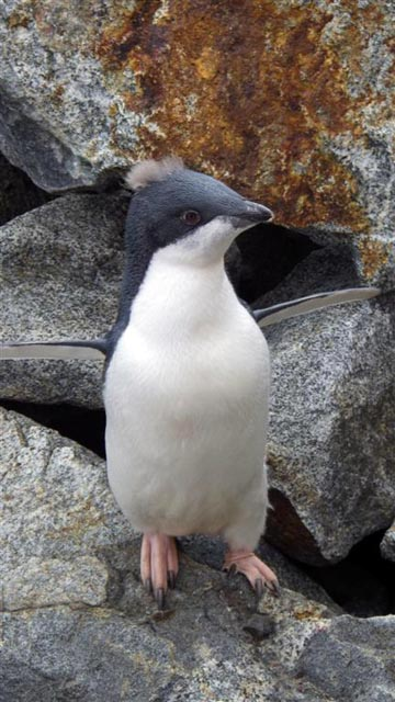 Small penguin stands on rock.