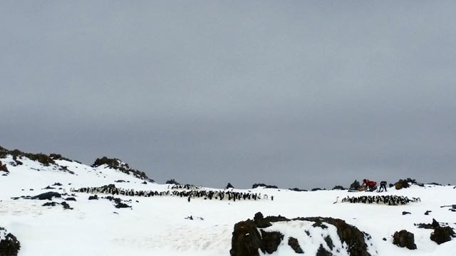 Small colony of penguins.