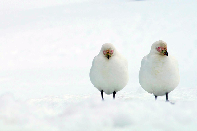 Two white birds in the snow.