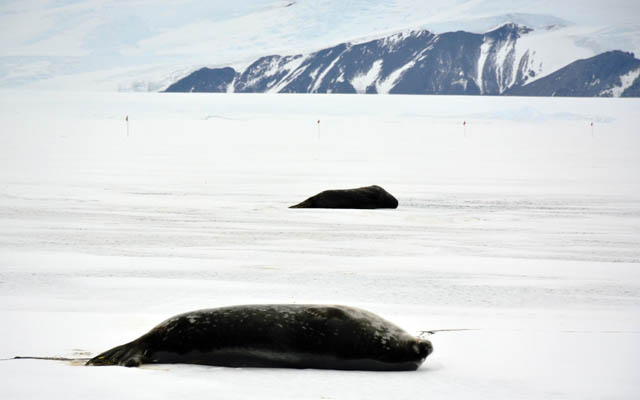 Seals lay on ice.