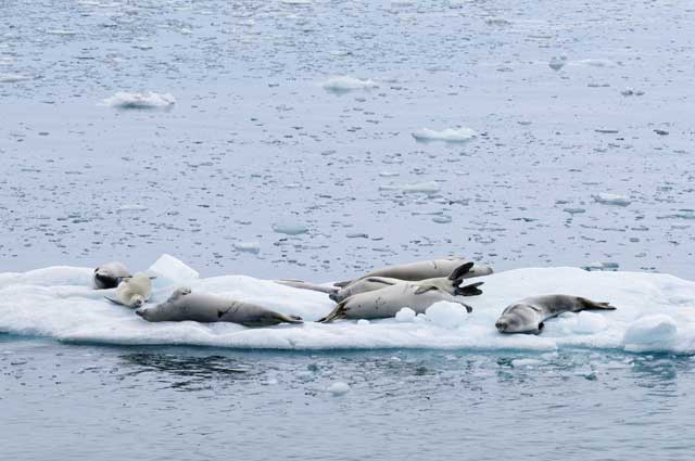 Seals recline on an ice floe.
