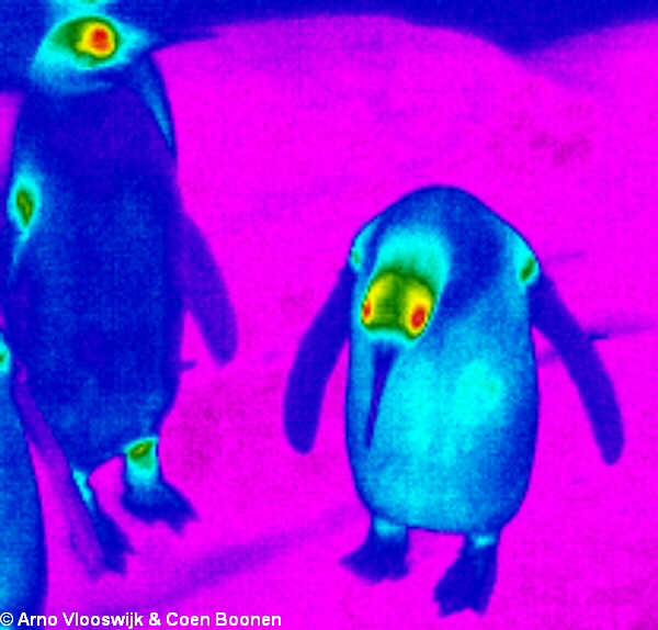 A thermographic image of penguins.
