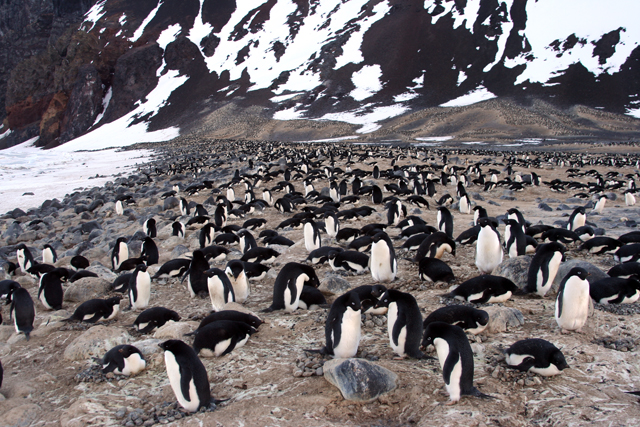 Adelie penguin colony on Seabee Hook.
