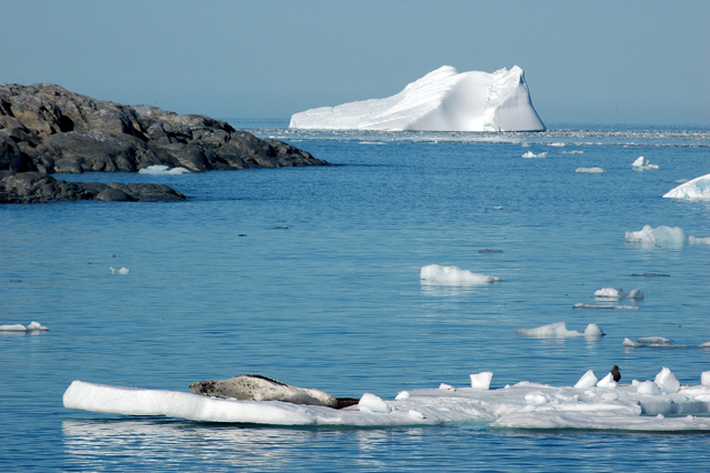 Leopard seal on ice floe near pier.