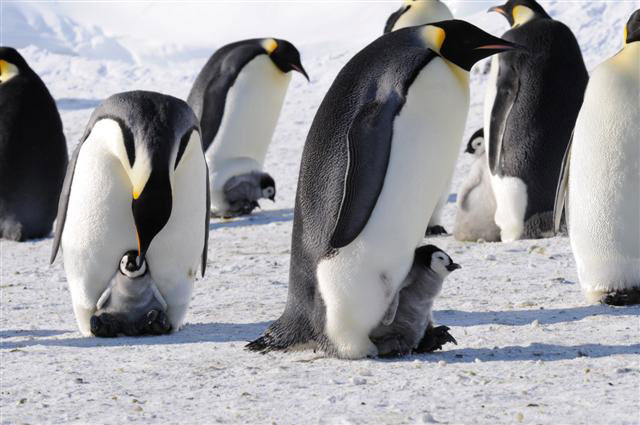 Emperor penguins care for chicks.
