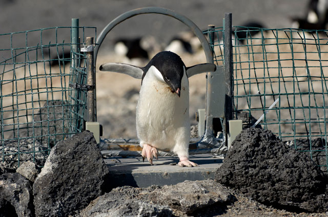 Penguin walks through gate.