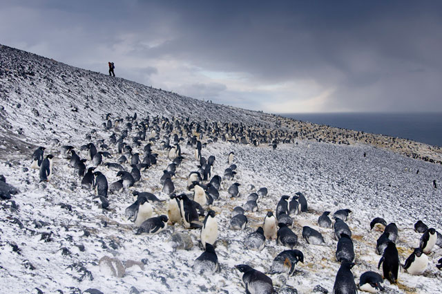 Penguins gather on a hillside.