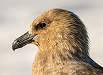 The profile of a south polar skua, one of the most infamous seasonal residents around Antarctica.