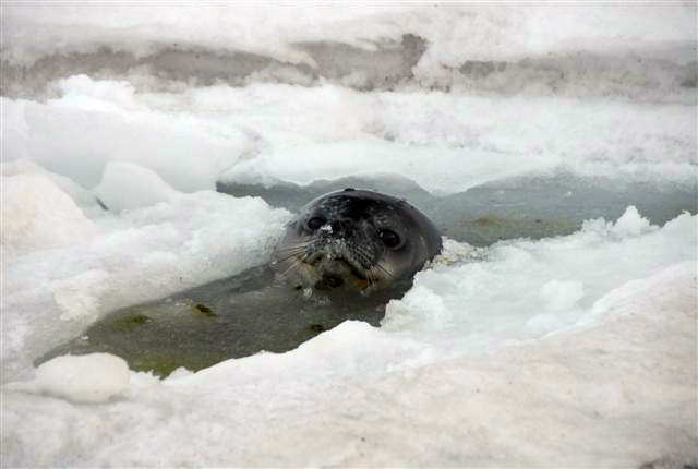 Seal with its head above water.