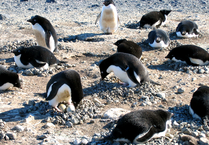 Banded penguins at Cape Bird.