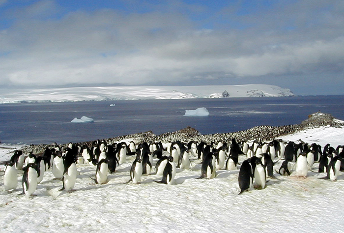 An Adelie penguin colony near the Copa camp.
