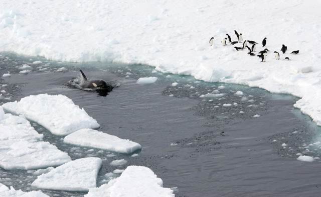 Whale swims in channel near penguins.