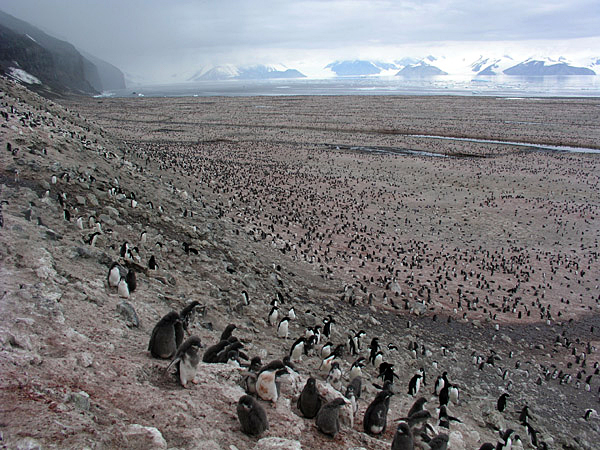 Penguin colony at Cape Adare.