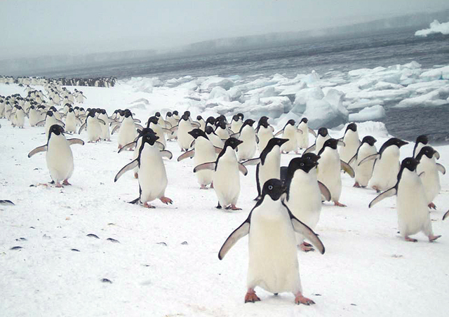 Adelie penguins at Brown Bluff.