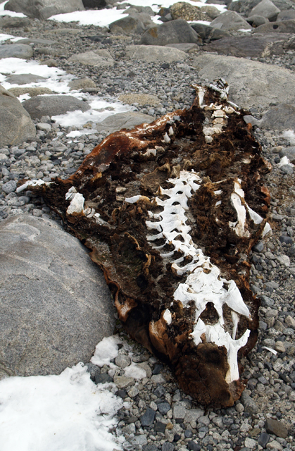 Remains of elephant seal on a rocky beach.