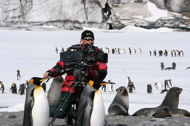Cameraman films king penguins on subantarctic island.