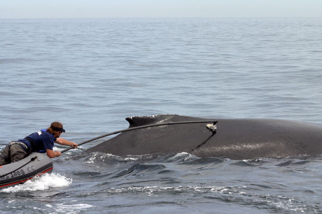 A researcher tags a humpback whale.