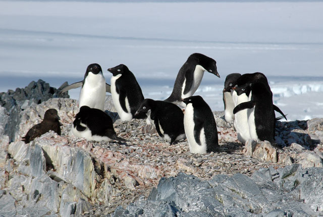 penguins in a group.