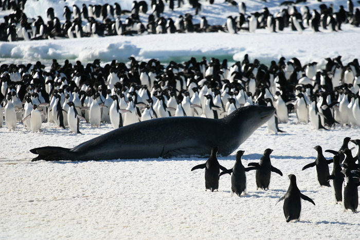 leopard seal in the middle of Cape Crozier penguins.
