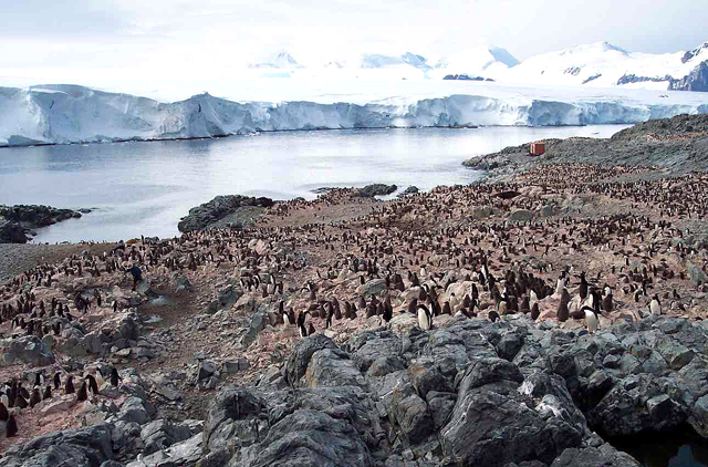 Penguins on an island with ice in background.