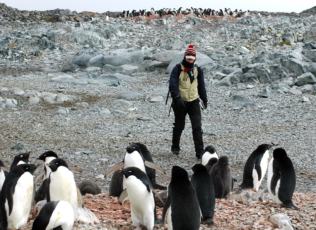 Person walks through penguin colony.