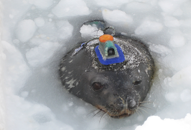 Seal with instrument on its head.