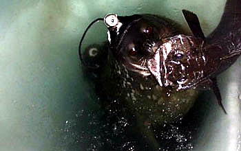 seal with fish in its mouth.