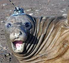 Elephant seal with device on its head.