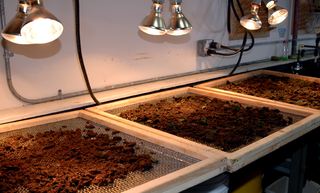 Lamps heat up soil to force larvae into pans.
