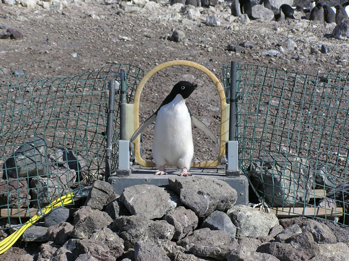 A penguin crosses a weigh bridge.