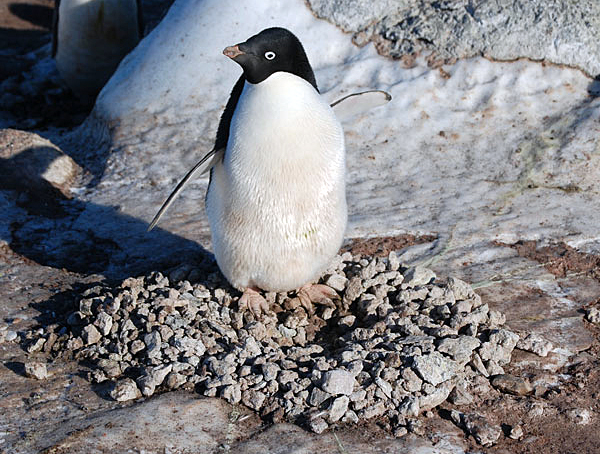 An adult penguin guards its nest.