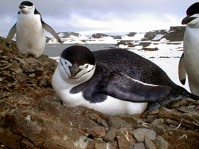 Adult Chinstrap Penguins