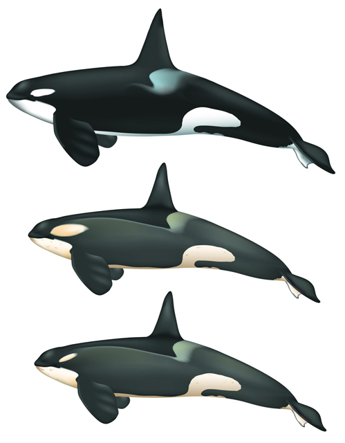 Graphic of killer whale species.