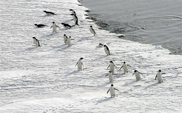 Penguins exit water onto ice.