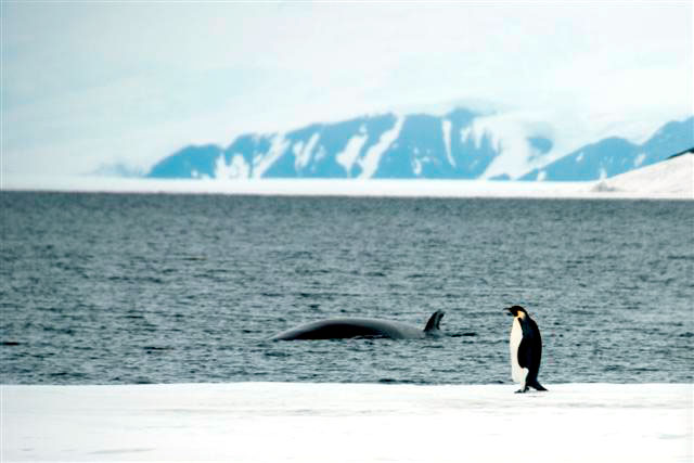 Whale swims by penguin standing on ice.