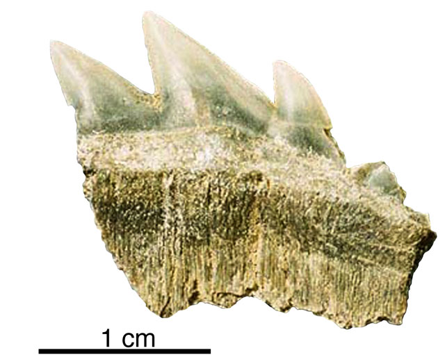Fossil of shark teeth.