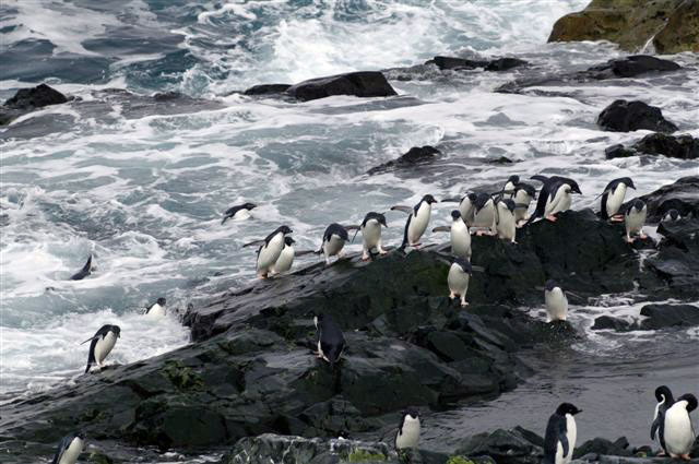 Penguins emerge from the water.