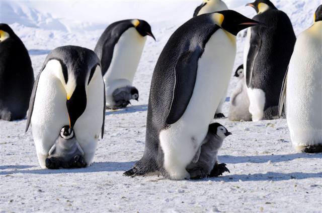 Emperor penguins with chicks.