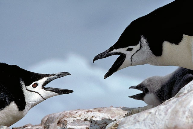 Chinstrap adults with chick.