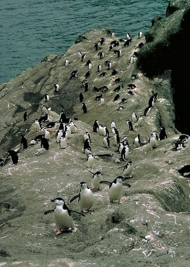 Chinstrap penguins walk up hill.