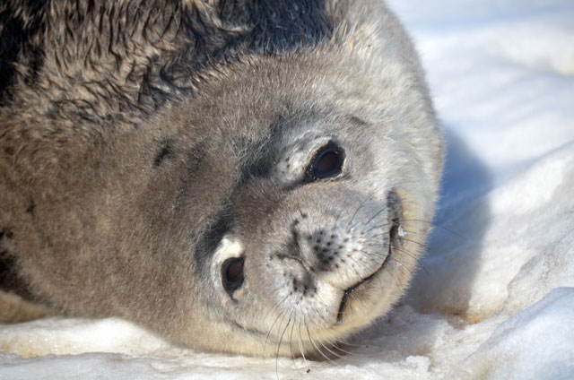 Close up of a Weddell seal face.