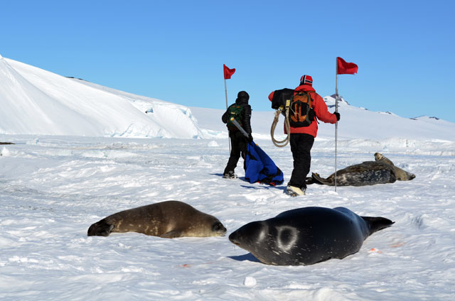 Two people with poles walk around seals.