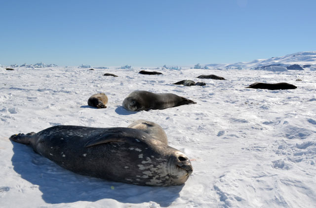 Seals on ice.